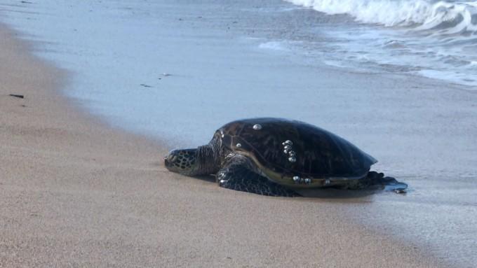 ウミガメ遭遇率No.1!ウミガメが昼寝しに来るビーチ、ハレイワ・アリイ・ビーチ | ハワイのオアフ島おすすめビーチ特集